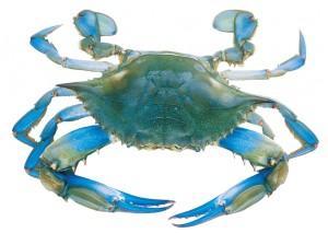 Blue_crab-1024x729